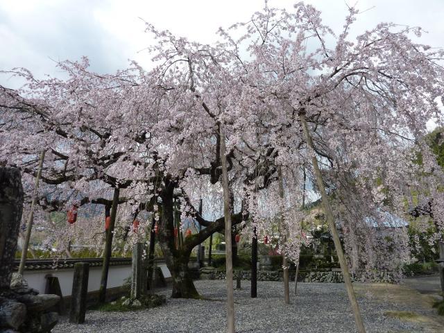 【開催中止】明王寺・しだれ桜まつり