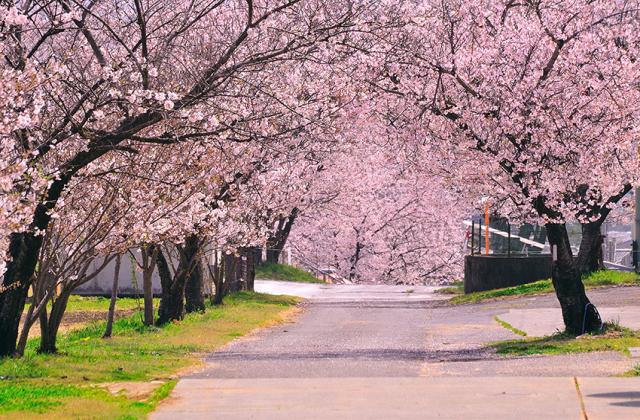 松島千本桜