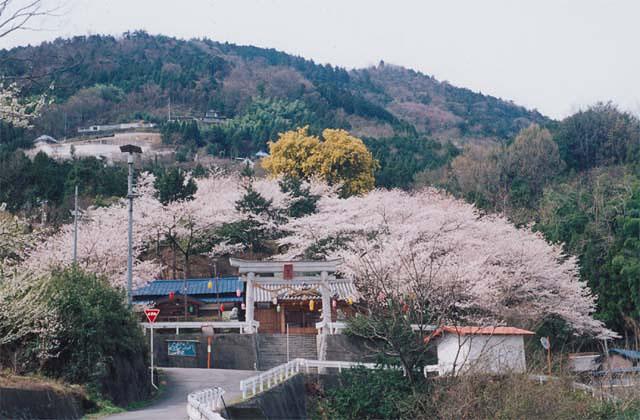 お天王さんの桜
