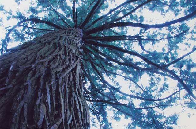 成谷の大杉
