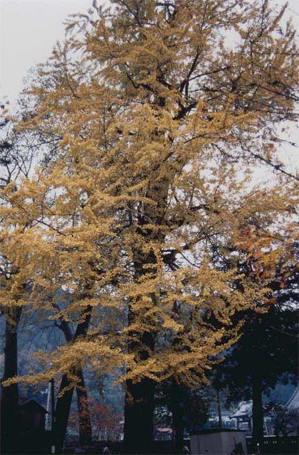 熊野十二所神社のラッパイチョウ
