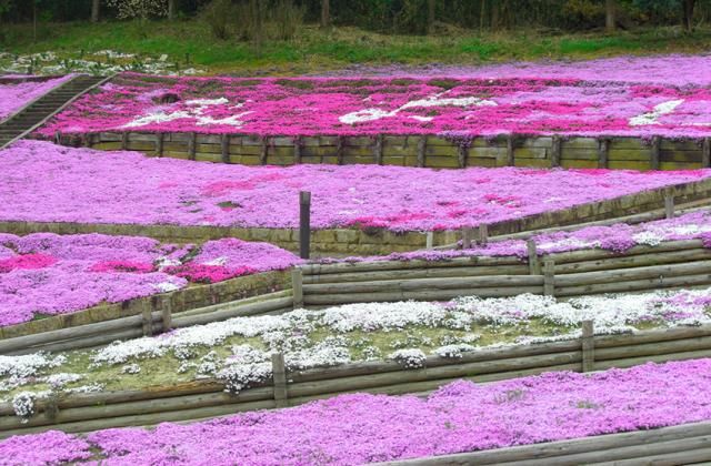 加茂農村公園のシバザクラ