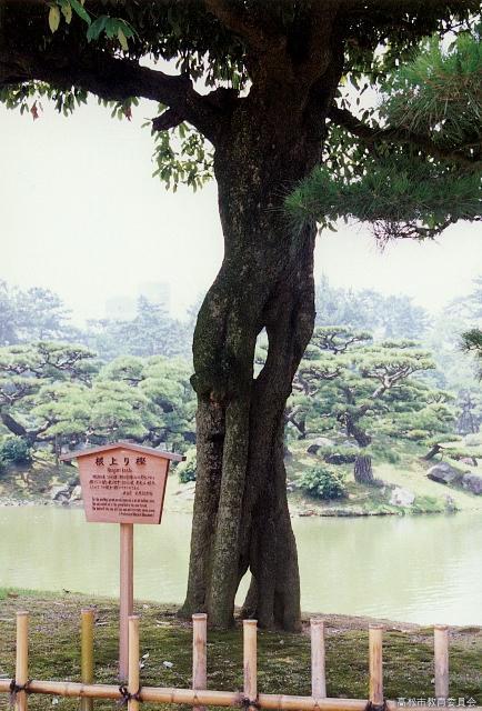 栗林公園の根上りカシ