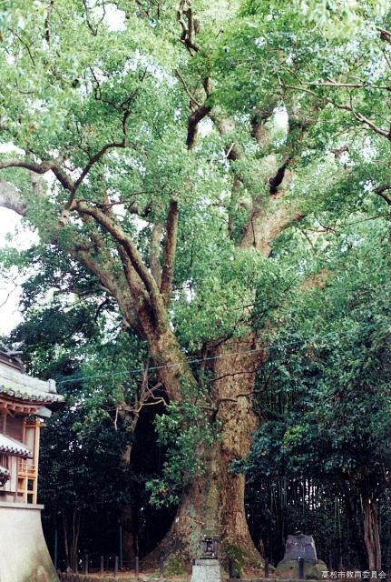 船山神社のクス