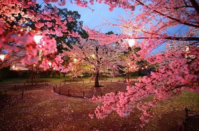 桜見物夜間無料開放(桜の馬場)