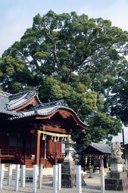 日枝神社のクスノキ