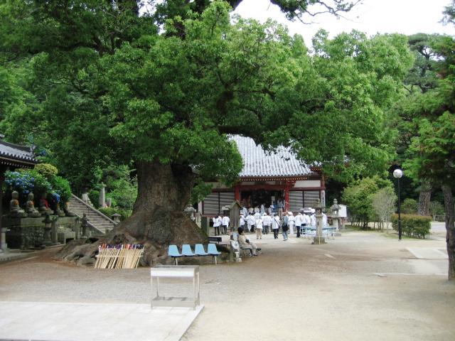 観音寺の大クス