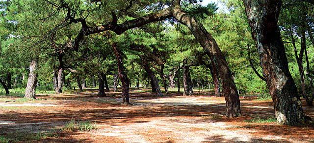 志島ヶ原の松林