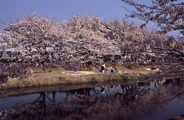 ひょうたん池桜