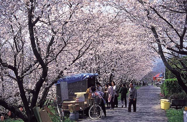 吉田河原桜
