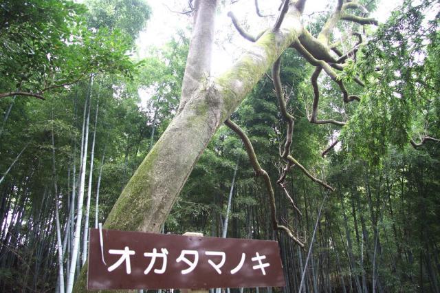 オガタマノキ(高野川神社)