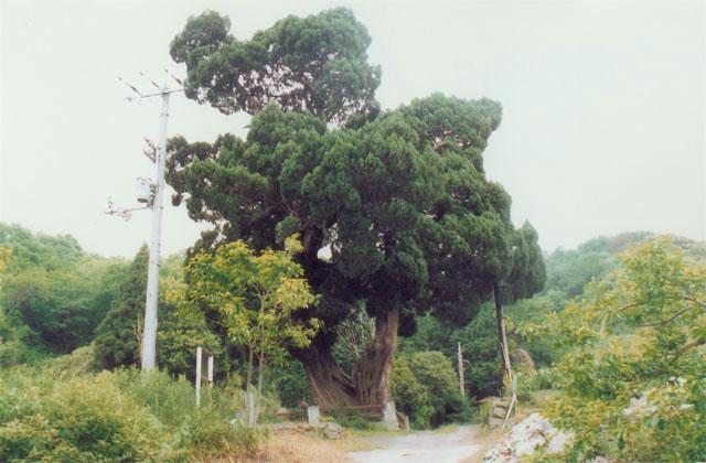 北吉井的柏樹