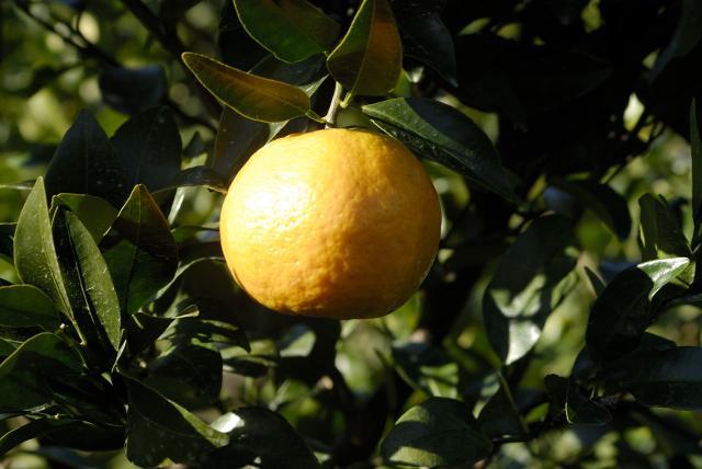 サツマイモ・ポンカン収穫体験