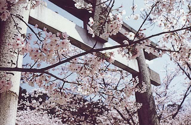 宝満宮竃門神社の桜