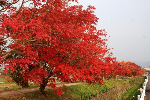 延寿寺曽根のハゼ並木