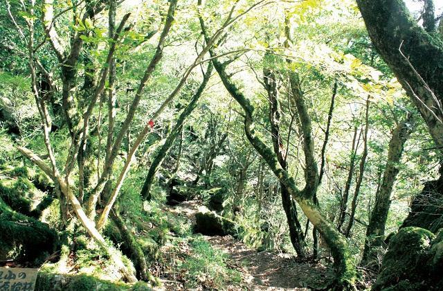古処山のツゲ原始林