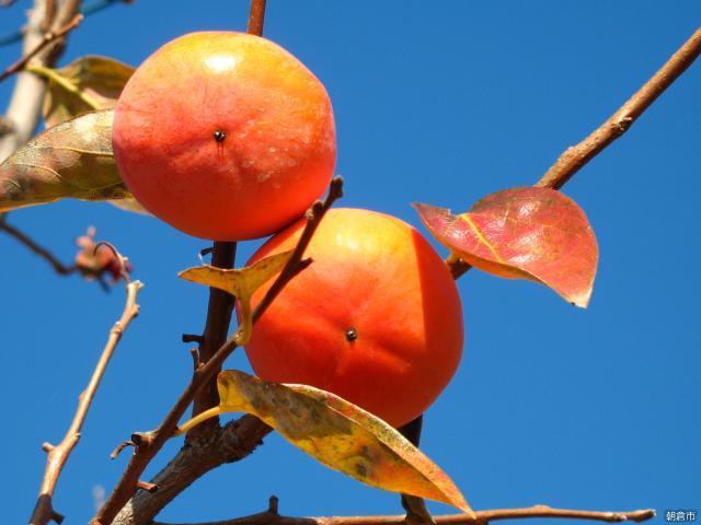 杷木の柿狩り