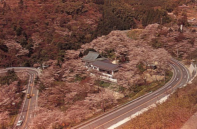 新吉野公園の桜