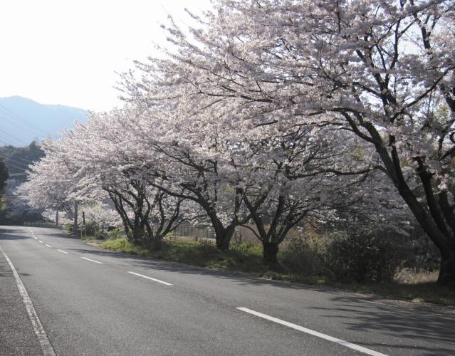 湯川山さくら道