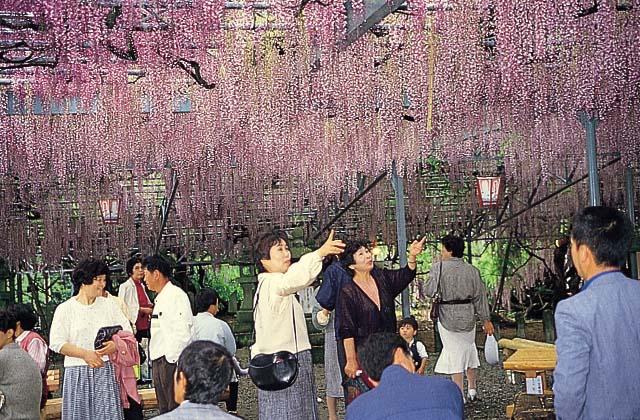 【2021年中止】八女黒木大藤まつり