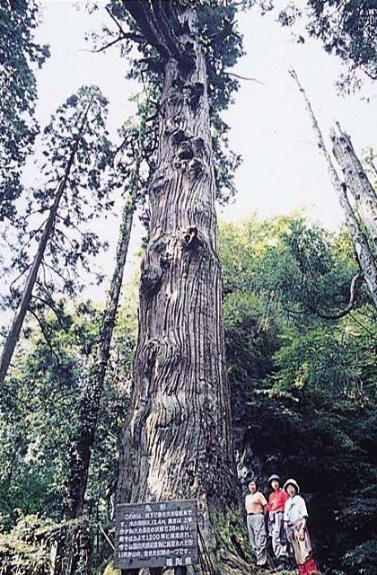 英彦山の鬼杉