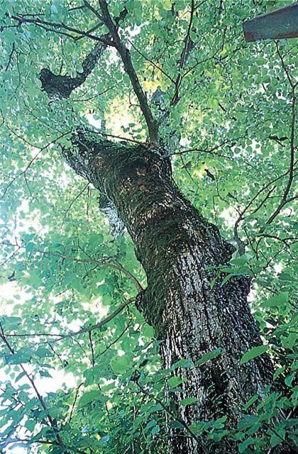 英彦山の菩提樹