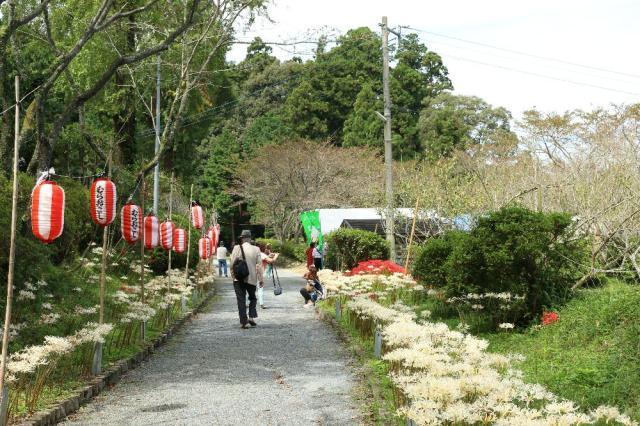 【2020年中止】白い彼岸花祭り