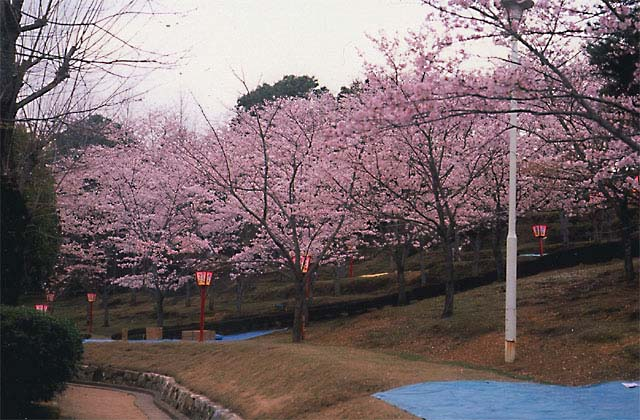 中央公園のツツジ・桜