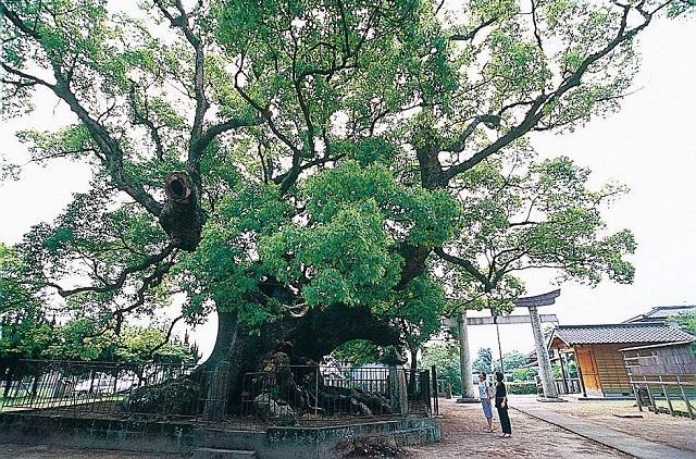 青幡神社の大楠