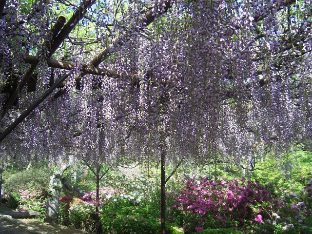 船山樂園的紫藤