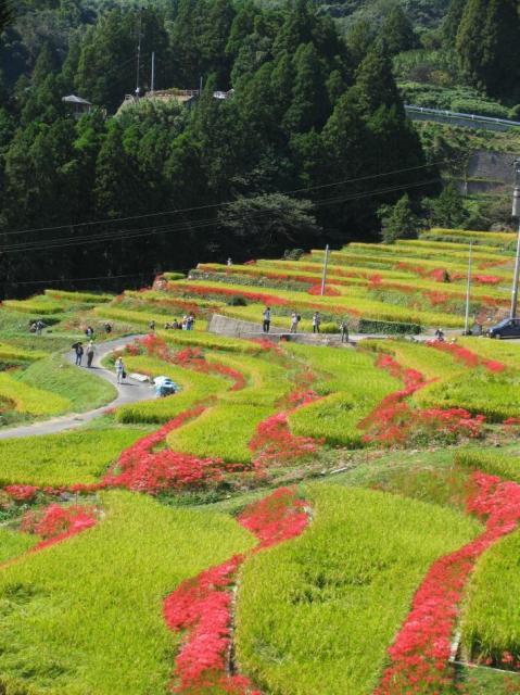 江里山棚田とひがん花