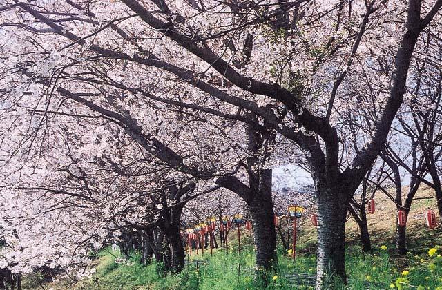 日の隈公園の桜