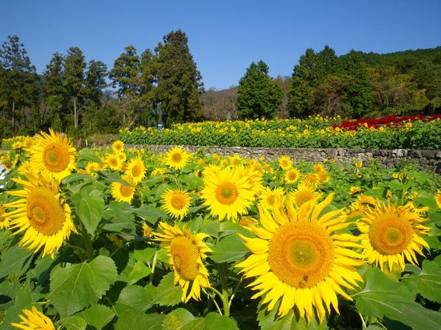 Yamada sunflower garden