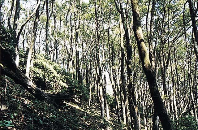 楠の群生林