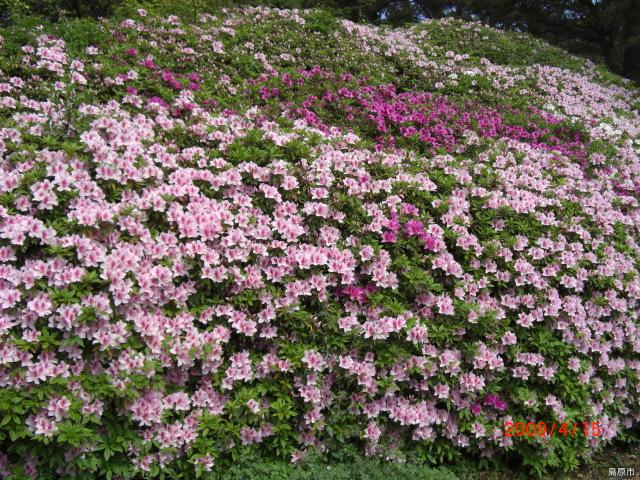 Azalea of soul hill Park