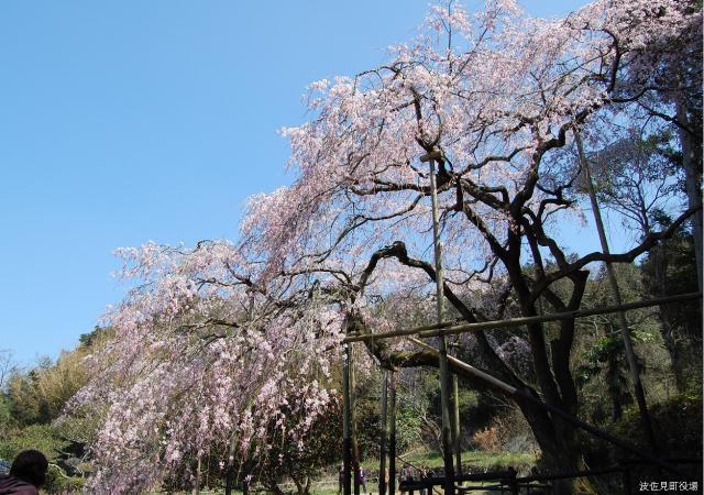 田頭郷のしだれ桜