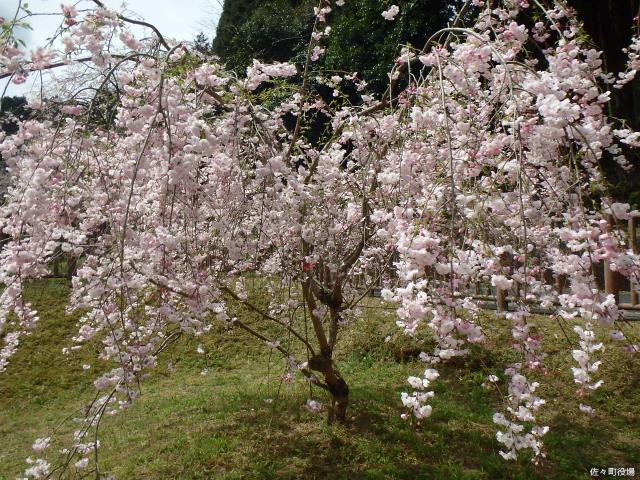 真竹谷しだれ桜