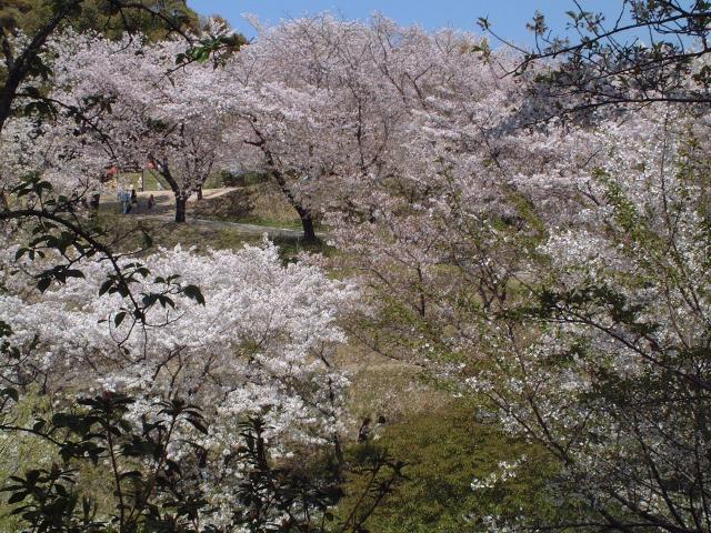 蛇ケ谷公園の桜