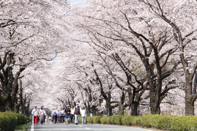 【開催中止】おおづ桜祭り