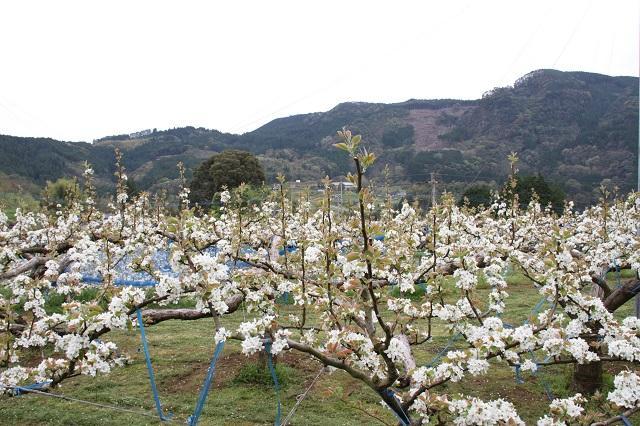 梨の花(熊本県球磨村)