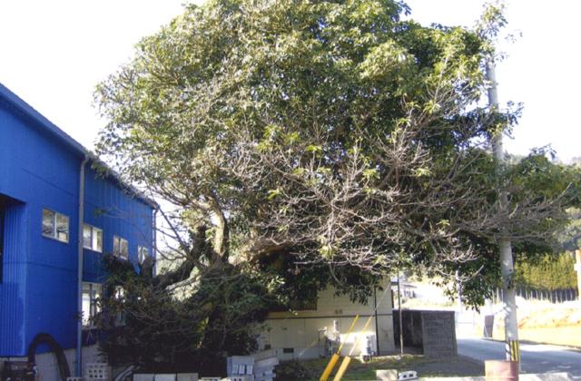 永目十五社宮のアコウの木