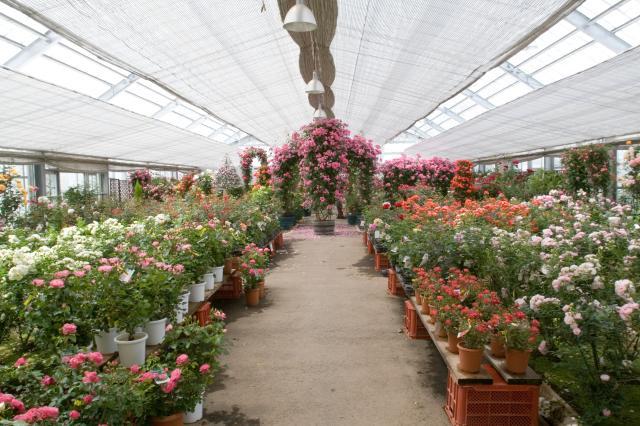 秋天的玫瑰花展銷會