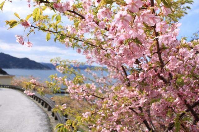 四浦半島河津桜