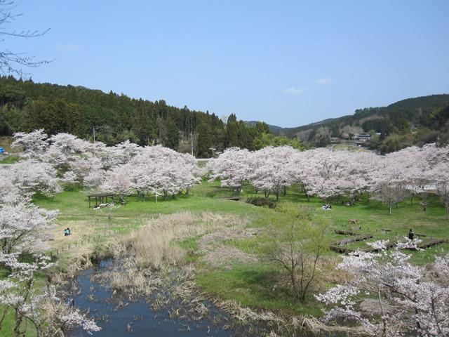 安岐ダムいこいの広場桜まつり