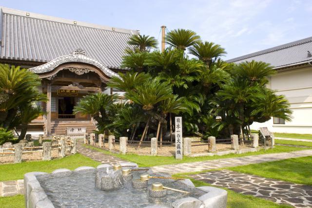 松屋寺の大蘇鉄
