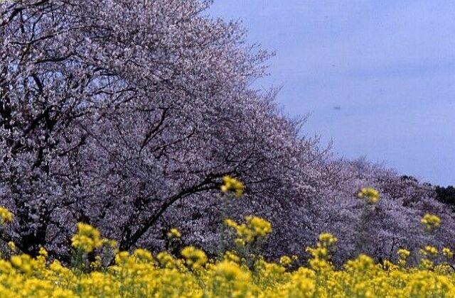 西都原的櫻花