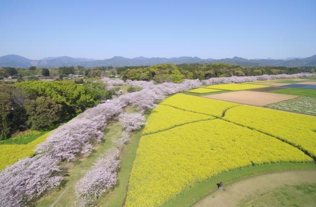 西都原の桜