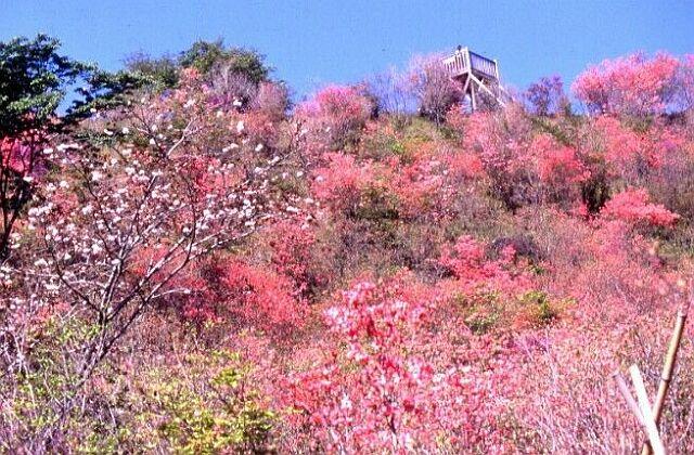 Mitsuba honeywort azalea of Takatoriyama park★45208ac2100122490