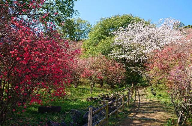 高取山公園のミツバツツジ