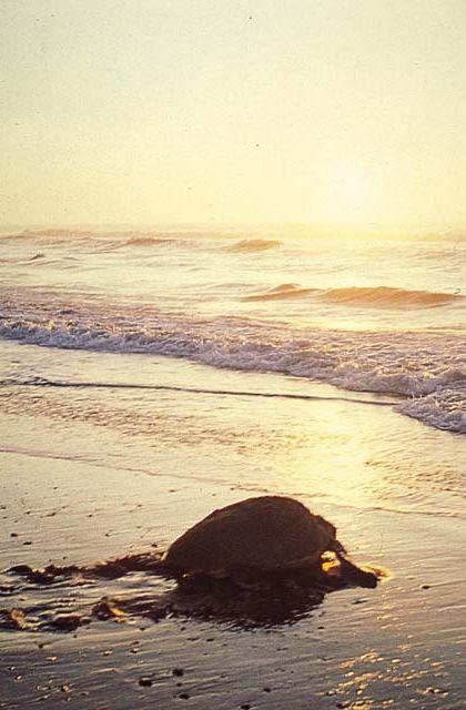 アカウミガメの画像 p1_31